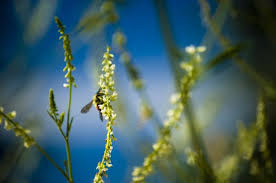 what essential oils repel bees hunker