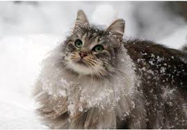 forest cat vs maine coon smashwords cool cat facts and breeds a book by new book