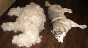 Basenji Shedding Puppy Coat by Fed Up With Excessive Summer Shedding Try Adding This Nutrient To