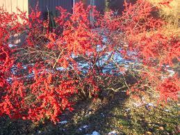 Winterberry Christmas Tree Farm Pa by Meadow Muffin Gardens January 2014