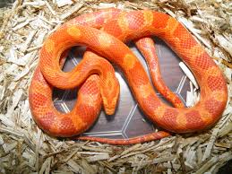 Corn Snake Shedding Too Often by Corn Snake Thread Page 6 Reptile Forums