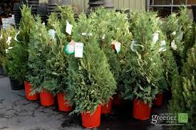 Best Kinds Of Christmas Trees by Choosing A Live Christmas Tree Growingagreenerworld Com