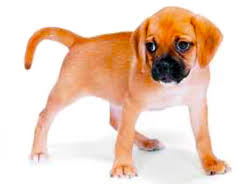 Do Pugs And Puggles Shed by Puggle