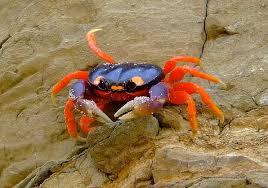 Halloween Hermit Crab Lifespan by Tropical Hobbies Paludarium Creatures Crabs 2