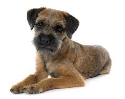 Do Border Terriers Shed by Border Terrier