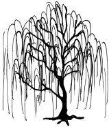 Amazon Weeping Willow Tree