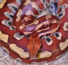 Corn Snake Shedding Signs by Shedding