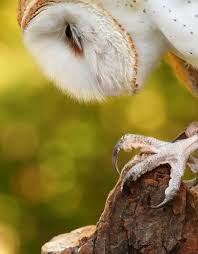 Birding Buddies: Barn Owl Watch The Secret To Why Barn Owls Dont Lose Their Hearing 162 Best Owls Images On Pinterest Barn And Children Stock Photos Images Alamy Owl 10 Fascating Facts About Species List Az 210 Birds Drawing Photographs Of Cave By Tyler Yupangco 312 Beautiful Birds