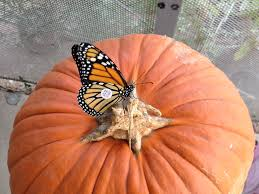 St Mark Pumpkin Patch Mcallen Tx by Butterflies Texasbutterflyranch