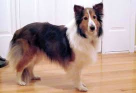 Sheltie Shedding In Clumps by Dogaware Com Articles Hypothyroidism In Dogs