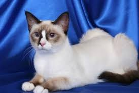 snowshoe cat snowshoe cats breed profile and facts