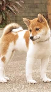 Do Shibas Shed A Lot by 172 Best Shiba Inu Images On Pinterest Doge Dogs And Shiba Inu