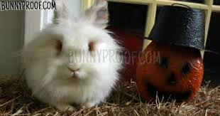 Can Rabbits Eat Roasted Pumpkin Seeds by Bunny Proofing You Home At Halloween