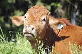 Krowa Zakrywająca W Komarnicach Zdjęcie Stock Obraz