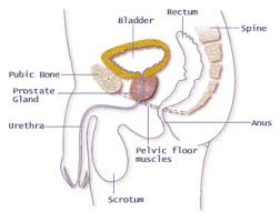 Muscles Of The Pelvic Floor Male by Pelvic Floor Therapy Washington Urology Associates Pllc