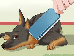 do miniature pinscher mix shed how to care for a miniature pinscher with pictures wikihow
