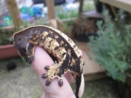Crested Gecko Shedding Info by Crested Gecko Unsexed In Southampton Hampshire Gumtree