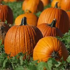 Pumpkin Patch Western Massachusetts by Marana Pumpkin Patch Sponsored By Post Farms