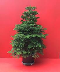 Nordmann Fir Christmas Trees Wholesale by Classic Nordman Fir