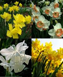 collection j the month of naturalizing narcissi garden