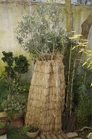 so kommen olivenbäume gut durch den winter mein schöner garten