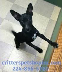 Stop Rat Terrier Shedding by Pets 566 Randall Road South Elgin Illinois 60177 224 856 5780