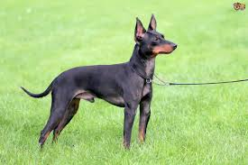 Do Miniature Doberman Pinschers Shed by English Toy Terrier Or Miniature Pinscher Which Makes The Better