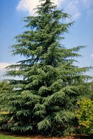 Altadena Christmas Tree Lane by Deodar Tree