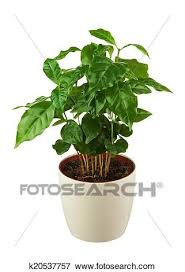 Picture Of Coffee Tree Arabica Plant In Flower Pot Isolated On