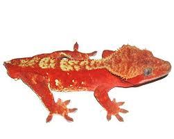 Crested Gecko Shedding Behavior by 75 Best Crested Gecko Images On Pinterest Crested Gecko Geckos