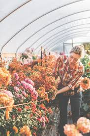 In An Autumn Scene At Floret Flower Farm Author Erin Benzakein Corrals Rows Of Greenhouse