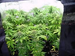 meilleur chambre de culture cultiver du cannabis en espaces réduits du growshop alchimia