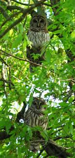 Best 25+ Owls In Florida Ideas On Pinterest | Beautiful Owl, Owls ... My Backyard Garden Nation Of Islam Ministry Agriculture Super Groovy Delicious Bite Big Lizard In My Back Yard Erosion Under Soil Backyard Ask An Expert I Think Found Magic Mushrooms Wot Do This Video Is Hella Clickbait Youtube Dinosaur Storyboard By 100142802 Holes In The Best Home Design Ideas Cottage Months Ive Been Creating More Garden Rooms Cat Frances Aggarwal Backyards Terrific Rocks And Minerals Tree Growing Started Fruiting Can Someone Id