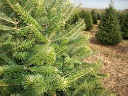 Balsam Christmas Tree Care by About Our Christmas Trees Evergreen Valley Christmas Tree Farm
