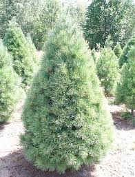 Christmas Trees Types by Types Of Christmas Trees For Sale