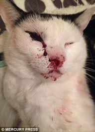 thug cat cat left blind in one eye after manchester thug him with an