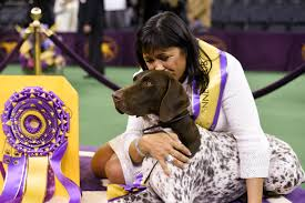 German Wirehaired Pointer Shedding by German Shorthaired Pointer Wins Westminster Kennel Club U0027s Best In