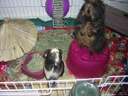 Pine Bedding For Guinea Pigs by Elegant Guinea Pig Bedding Interior Design And Home Inspiration