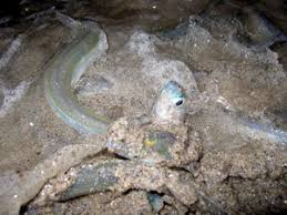 A Grunion Spawns In The Sand Sight Awaiting Those Patient Enough To Comb Beaches