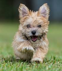 Morkies Do They Shed by Morkie Dog Breed Temperament Information Diet And Training