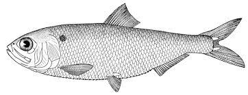 Fish black and white milk fish clipart clipartfox