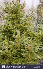 Christmas Tree Aphids Uk by Picea Abies Norway Spruce Christmas Stock Photos U0026 Picea Abies