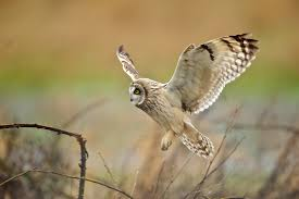 A Short-eared Owl Lands (1/7) | BirdNote Barn Owl Landing Spread Wings On Stock Photo 240014470 Shutterstock Barn Owl Landing On A Post Royalty Free Image Wikipedia A New Kind Of Pest Control The Green Guide Fence Photo Wp11543 Wp11541 Flight Sequence Getty Images Imageoftheday By Subject Photographs Owls Kaln European Eagle Coming Into Land Pinterest Pictures And Bird