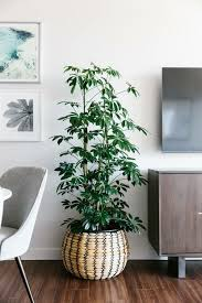 the schefflera care is not difficult but this houseplant is