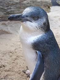 new zealand aquarium shames timmy the naughty penguin daily