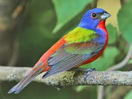 painted bunting identification all about birds cornell lab of