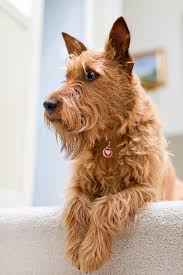 Top 10 Dogs That Dont Shed by Irish Terrier Dog Breed Information Pictures Characteristics