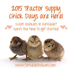 Tractor Supply Heat Lamp by Backyard Chickens Ferndale Chickens