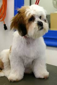 My Lhasa Apso Is Shedding Hair by Lhasa Apso Haircuts Hair Cuts Dogs On Basic Dog Grooming