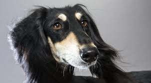 Do Black And Tan Coonhounds Shed by Saluki Dog Breed Information American Kennel Club